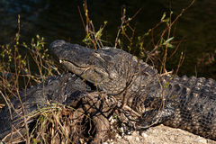 Alligator de sommeil Images stock
