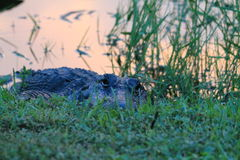 Alligator in den Sumpfgebieten Lizenzfreies Stockfoto