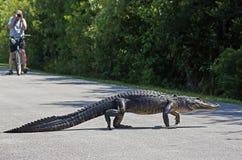 Alligator, der über Zyklus-Weg geht Lizenzfreie Stockfotografie