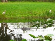 Alligator, der in den Sumpfgebieten sich versteckt Lizenzfreie Stockbilder