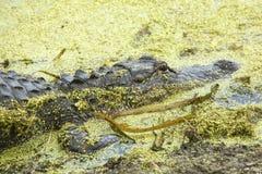 Alligator, der in den Teichunkräutern bei Orlando Wetlands Park liegt Stockbilder