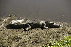 Alligator, der in der Sonne sich aalt Lizenzfreie Stockfotos