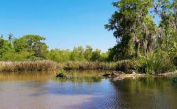 Alligator, der in einem Sumpf stillsteht stockfoto