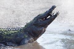 Alligator, der einen Fisch isst Lizenzfreie Stockbilder