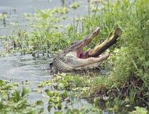 Alligator, der einen großen Fisch isst Lizenzfreies Stockfoto