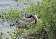 Alligator, der einen großen Fisch isst Stockfoto