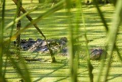 Alligator, der hinter Schilfen lauert Lizenzfreie Stockbilder