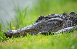 Alligator, der im Gras schläft Stockbild