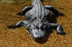 Alligator, der im seichten Wasser im Sun faulenzt lizenzfreie stockbilder
