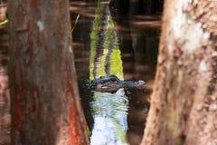 Alligator, der im Sumpf sich versteckt stockfotografie