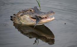Alligator, der im Wasser isst stockfotos