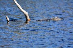 Alligator, der vorbei an einem Landschaftsschutzgebiet in Florida schwimmt Stockfotografie