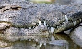 Alligator, der Zähne zeigt Stockbilder