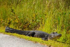 Alligator dichtbij Weg Stock Afbeelding