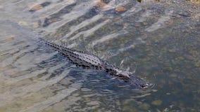 Alligator die in de rivier zwemmen stock video