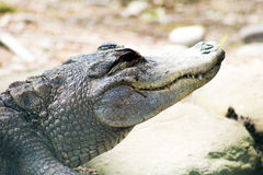 Alligator die in de zon glimlachen royalty-vrije stock foto
