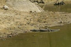 Alligator die in de zon zonnebaadt Stock Fotografie