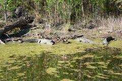 Alligator die in de zon zonnebaadt stock foto
