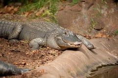 Alligator die door een vijver kruipt Royalty-vrije Stock Afbeeldingen