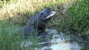 Alligator die een grote softshellschildpad in het moeras van Florida eten stock videobeelden