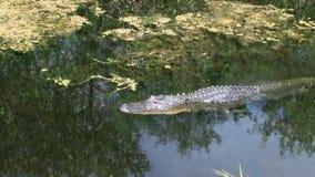 Alligator die in everglades in Florida zwemmen stock footage