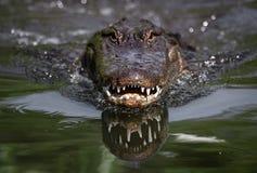 Alligator die in het water eten stock afbeelding