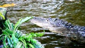 Alligator die langzaam in kunstmatige vijver met koikarpers zwemmen stock video