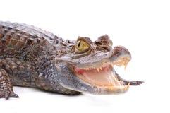 Alligator die op de witte achtergrond wordt geïsoleerd6 Stock Foto