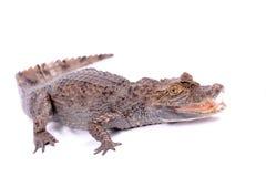 Alligator die op een wit wordt geïsoleerde royalty-vrije stock foto