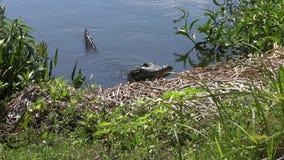 alligator die uit van een meer kijken stock footage