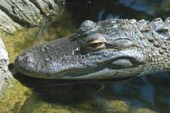 Alligator die in Wachttijd ligt Stock Afbeeldingen
