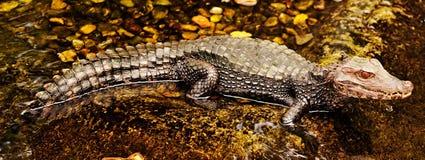 Alligator die zich in rivier bevindt stock foto's