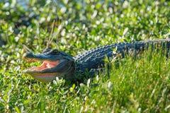 Alligator die zijn Tanden tonen Stock Foto's
