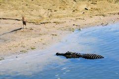 Alligator die Zijn Volgende Maaltijd bekijkt Stock Foto's