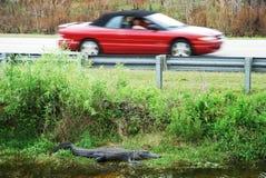 Alligator door de Weg Stock Afbeelding