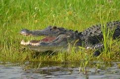 Alligator durch Wasser lizenzfreie stockfotografie