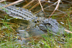 Alligator in eastern Florida Royalty Free Stock Image