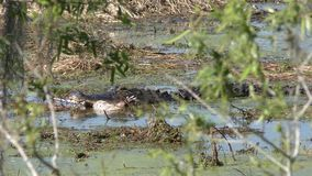 Alligator eating an alligator remains stock video footage
