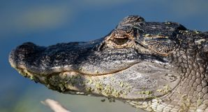 Alligator eating in the water royalty free stock image