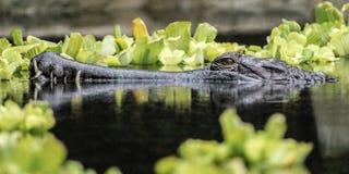 Alligator in een pool stock foto's