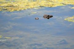 Alligator en Eendekroos Stock Afbeeldingen