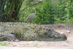 Alligator en Vogel Stock Afbeeldingen