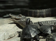 Alligator et tortues ensemble Images libres de droits