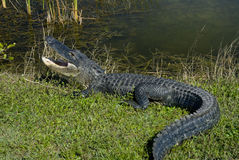 Alligator in Everglades Royalty Free Stock Photo