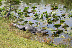 Alligator at the everglades 3 Royalty Free Stock Images