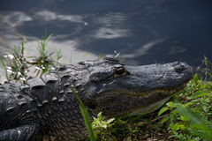 Alligator at the Everglades, Florida, USA Stock Photography