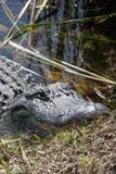 Alligator at the Everglades, Florida, USA Royalty Free Stock Image