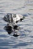 Alligator at the Everglades, Florida, USA Royalty Free Stock Photo
