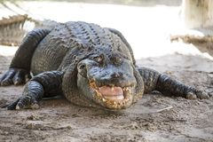 Alligator  everglades Royalty Free Stock Photo