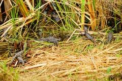 Alligator in everglades national park. Florida, USA royalty free stock photo